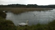 Swans enjoying the rain