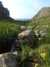 Seaside Irises